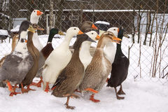 Ducks in the winter Stock Image