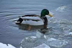 Ducks wintering on the Moskva River. A brightly colored duck swims in the Moskva River in early spring Stock Photo