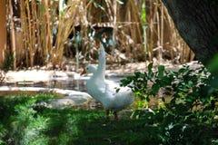 Ducks Wonderi What to Do Stock Images