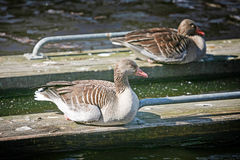 Ducks on wooden boards Stock Images