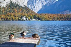 Ducks on wooden dock at Hallstatt lake. Austria Royalty Free Stock Photography