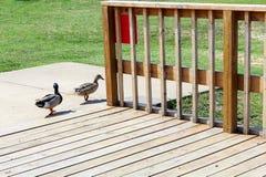 Ducks on wooden dock Stock Photo