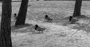Ducks in the woods. Ducks in forest running among trees, animals and birds Royalty Free Stock Image