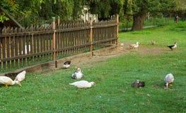 Ducks on the yard stock image