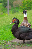 Ducks in the yard Royalty Free Stock Photography