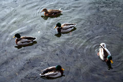 Duckt #2 Stockfotografie