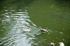DuckThirty åtta Royaltyfri Fotografi