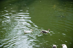 DuckThirty οκτώ Στοκ φωτογραφία με δικαίωμα ελεύθερης χρήσης
