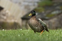 Duckwalking on grass royalty free stock image
