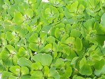 Duckweed στο νερό επιφάνειας Στοκ εικόνες με δικαίωμα ελεύθερης χρήσης