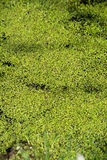 Duckweed στο νερό Στοκ φωτογραφίες με δικαίωμα ελεύθερης χρήσης