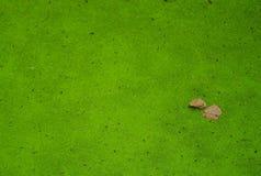 Duckweed в пруде Стоковые Изображения