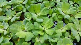 Duckweed, заводы aqua Стоковые Изображения