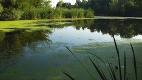 Duckweed и тростники на реке сток-видео