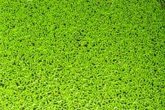 Duckweed покрытый на поверхности воды Стоковые Изображения