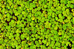 Free Duckweed Stock Photos - 10424163