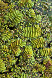Duckweed Stock Photos