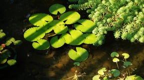 duckweed Стоковая Фотография