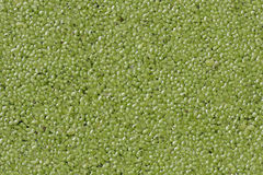 Duckweed Royalty Free Stock Photo