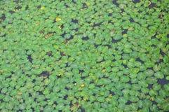 duckweed Стоковое фото RF