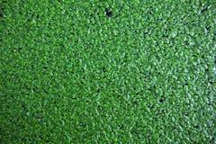 duckweed Стоковая Фотография RF