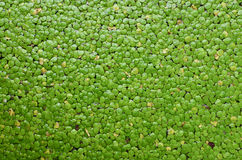 Duckweed. On a pond for background Stock Photo