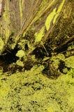 Duckweed Stock Image