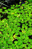 Duckweed Royalty Free Stock Image