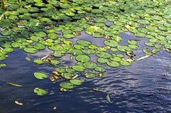 duckweed Стоковые Изображения