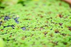 duckweed Στοκ Φωτογραφίες