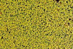 Duckweed aquatic plant Royalty Free Stock Photos