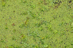 DUCKWEED BACKGROUND Stock Photography