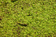 Duckweed Background Royalty Free Stock Image