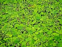 Duckweed background Royalty Free Stock Images