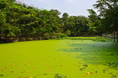 Duckweed covered pond Royalty Free Stock Images