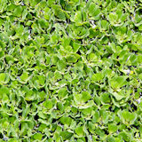 Duckweed covered on the water surface Stock Photography