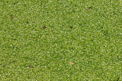 Duckweed covered on the water surface. In the garden Stock Photo