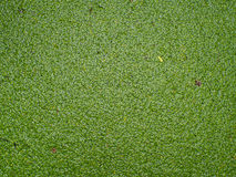 Duckweed Stock Photography