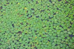Duckweed. Green plant in water Royalty Free Stock Photo