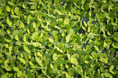 Duckweed. S, or water lens, are flowering aquatic plants which float on or just beneath the surface of still or slow-moving bodies of fresh water and wetlands stock photos