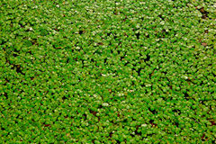 Duckweed. S, or water lens, are flowering aquatic plants which float on or just beneath the surface of still or slow-moving bodies of fresh water and wetlands royalty free stock photos