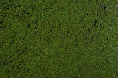 Duckweed floating on water surface royalty free stock photography