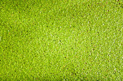 Duckweed flowering plants floats in water for background Stock Image
