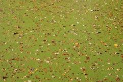 Duckweed & foliage. Texture of autumn wetland pond royalty free stock image