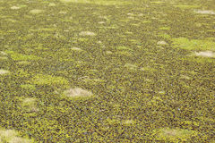 Duckweed green covered on the water surface Royalty Free Stock Image