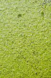 Duckweed Royalty Free Stock Photography