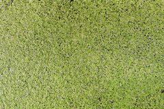 Duckweed, Green leaf Duckweed Background, Duckweed is a floating plant on the surface. The Duckweed, Green leaf Duckweed Background, Duckweed is a floating plant royalty free stock image