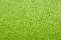 Duckweed Stock Images