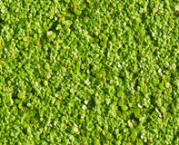 Duckweed Stock Images