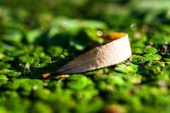 Duckweed i suchy liść zdjęcie royalty free